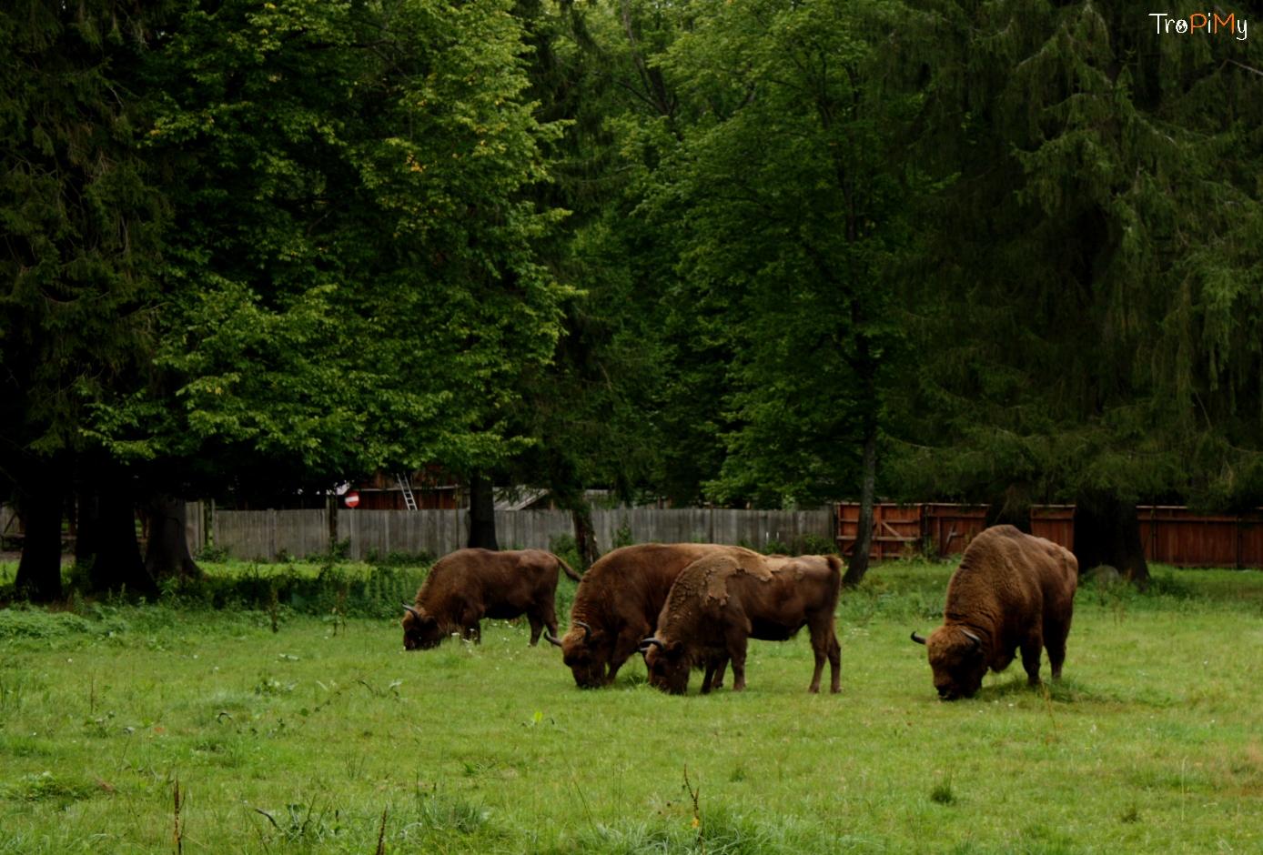 Żubry w Białowieży